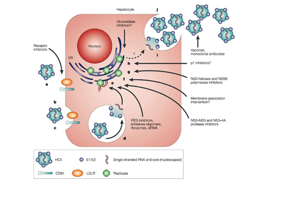 Proposed replicative cycle of HCV and potential sites of therapeutic intervention.
