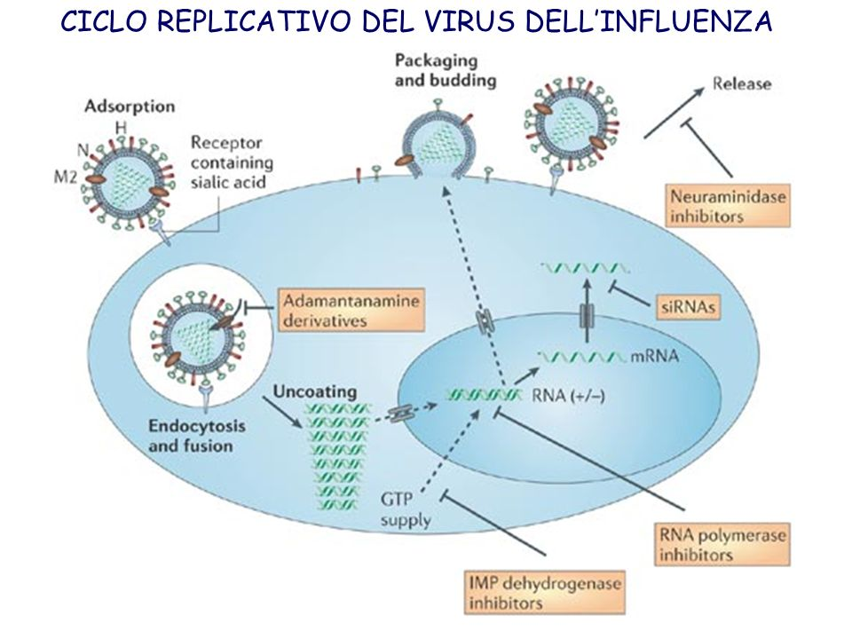 CICLO REPLICATIVO DEL VIRUS DELL'INFLUENZA