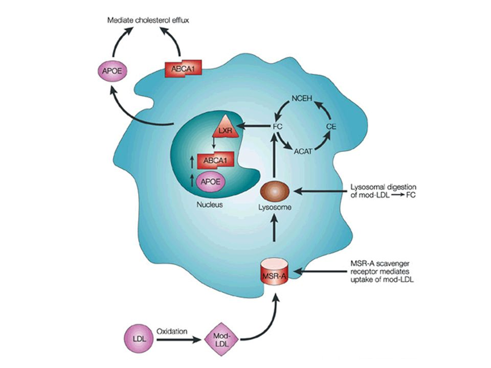The macrophage/foam cell and its role in lipid metabolism
