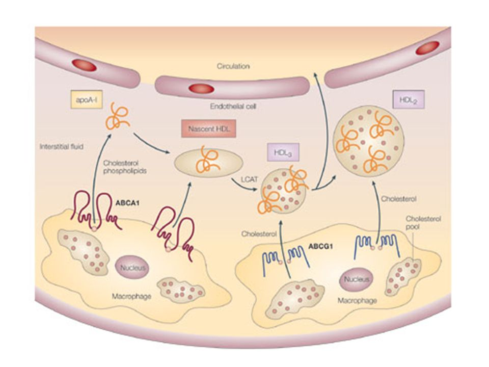 Mechanisms of cholesterol efflux from the arterial wall