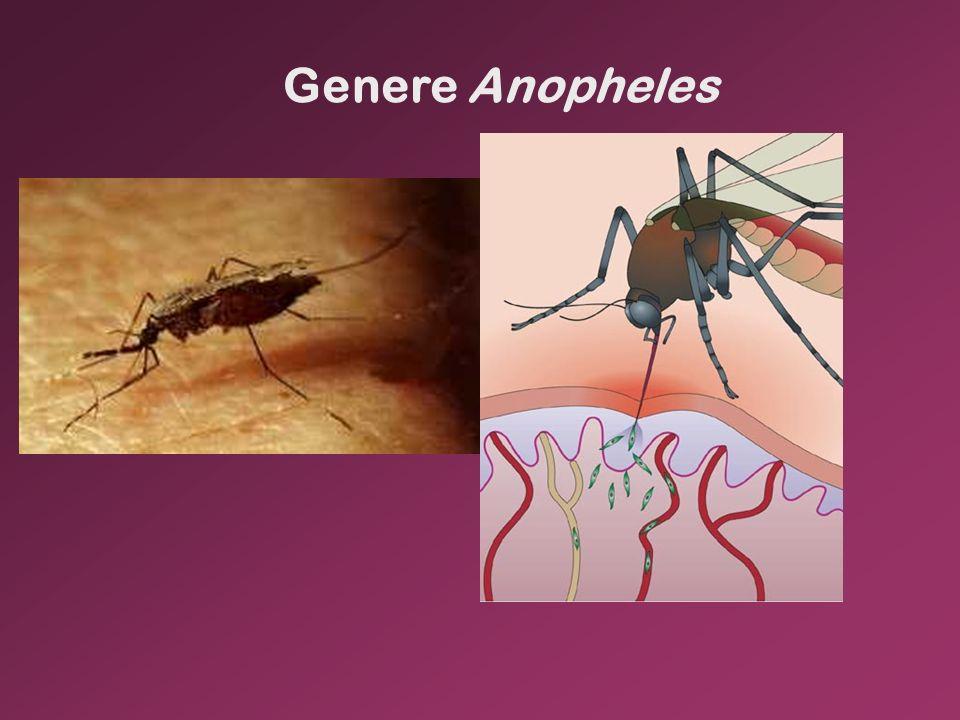 Genere Anopheles
