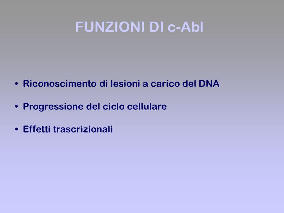 FUNZIONI DI c-Abl Riconoscimento di lesioni a carico del DNA