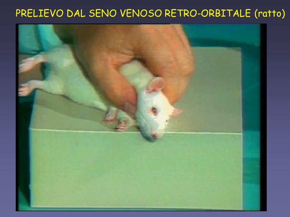PRELIEVO DAL SENO VENOSO RETRO-ORBITALE (ratto)