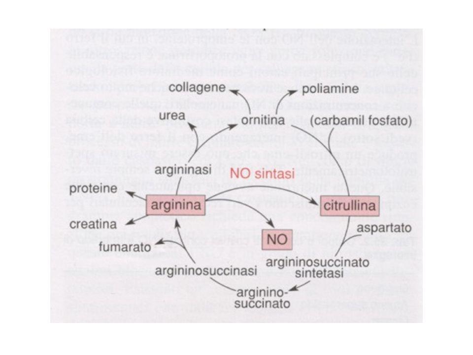 Rappresentazione schematica del metabolismo dell'arginina