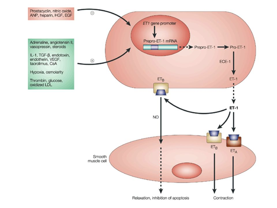 Regulation of ET-1 synthesis, pathway of ET generation and ET-receptor-mediated actions on smooth muscle cells.