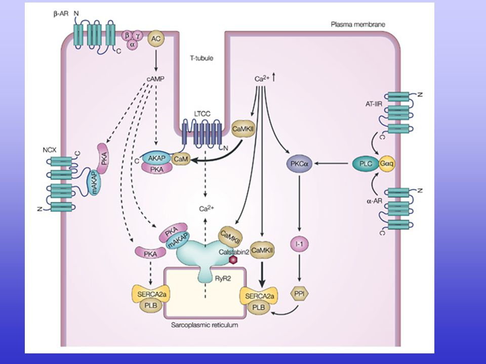 Regulation of intracellular Ca2+ signalling in the heart