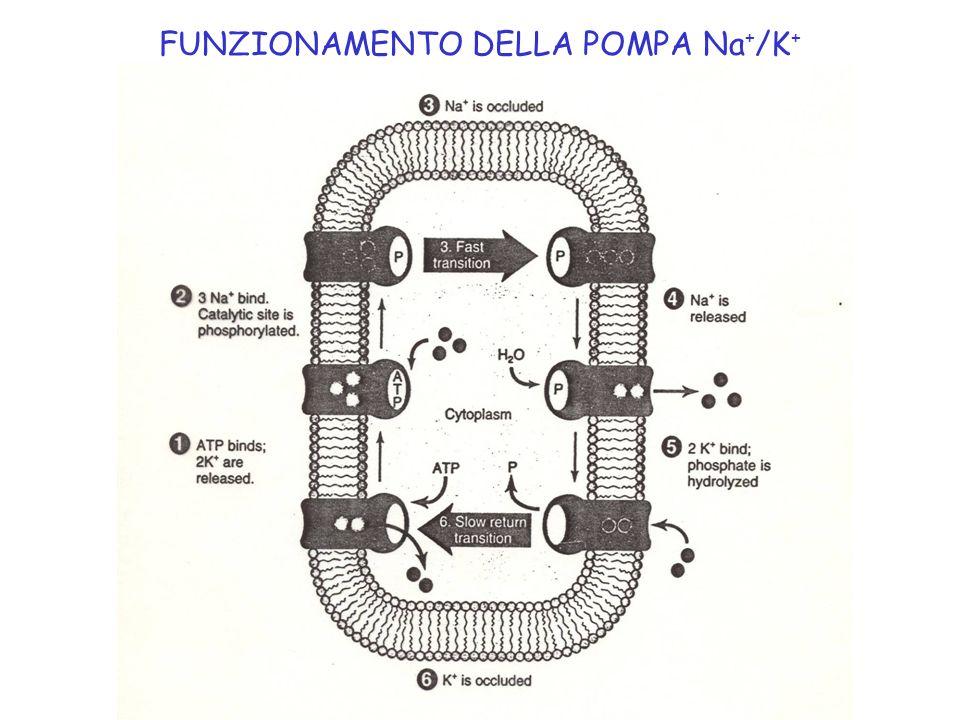 FUNZIONAMENTO DELLA POMPA Na+/K+