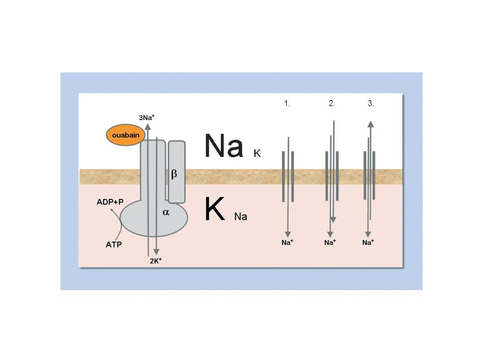 Fig. 1 NKA consists of a catalytic alpha subunit and a beta subunit that is required for the proper insertion of NKA into the plasma membrane. NKA uses the energy from ATP hydrolysis to transport Na+ out of the cell and K+ into the cell. The gradients created by this active transport will allow Na+ to enter the cell via sodium channels (1), co-transporters, such as the Na-glucose c-otransporter or the sodium amino acid co-transporter (2) and counter transporters such as the sodium hydrogen exchanger or the Na-calcium exchanger (3) without extra costs of energy.