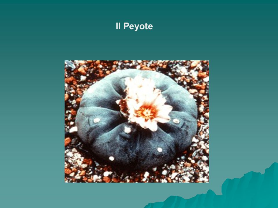 Il Peyote