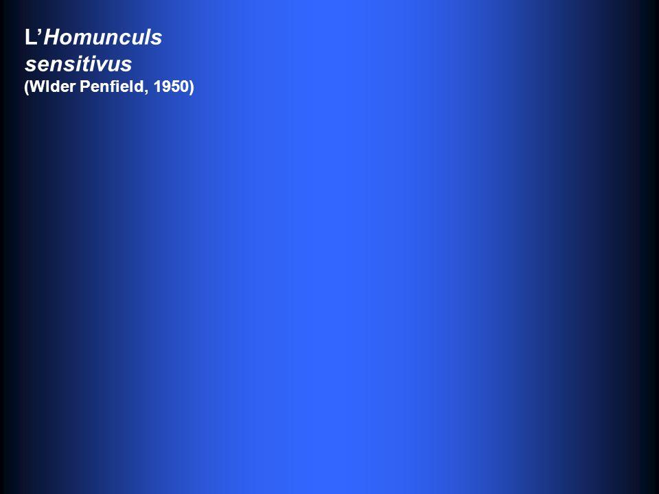 L'Homunculs sensitivus (Wlder Penfield, 1950)