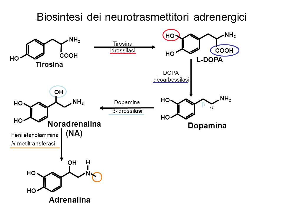 Biosintesi dei neurotrasmettitori adrenergici