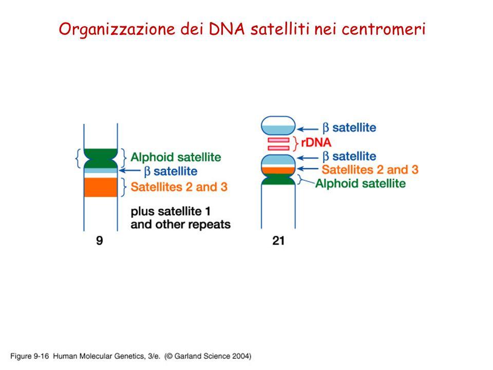 Organizzazione dei DNA satelliti nei centromeri