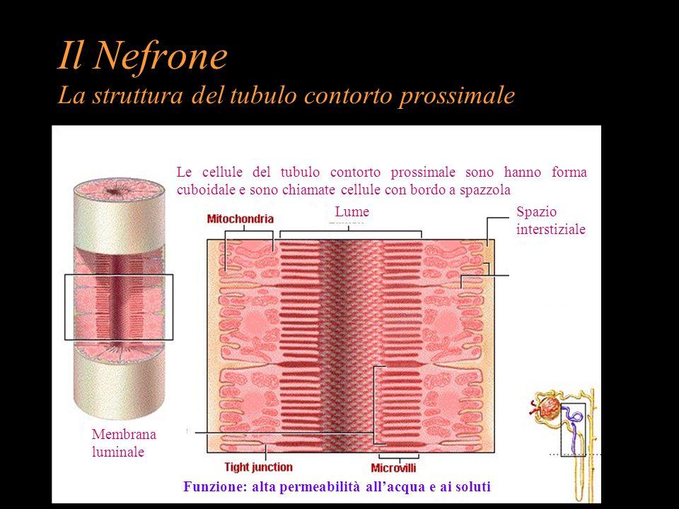 Il Nefrone La struttura del tubulo contorto prossimale