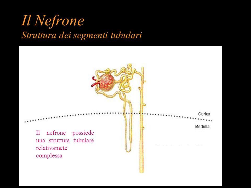 Il Nefrone Struttura dei segmenti tubulari