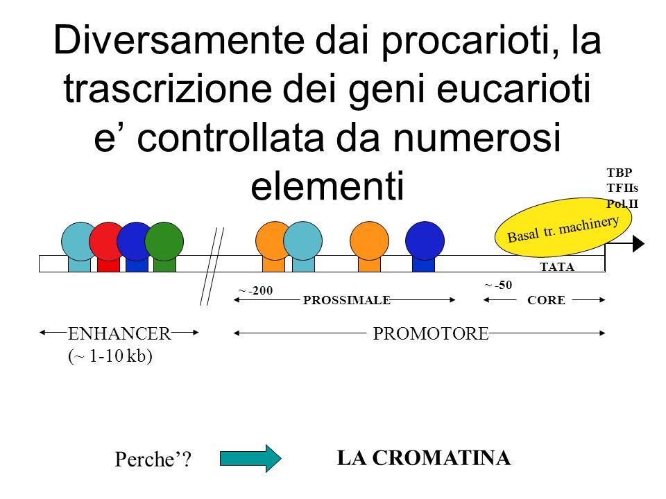 Diversamente dai procarioti, la trascrizione dei geni eucarioti e' controllata da numerosi elementi