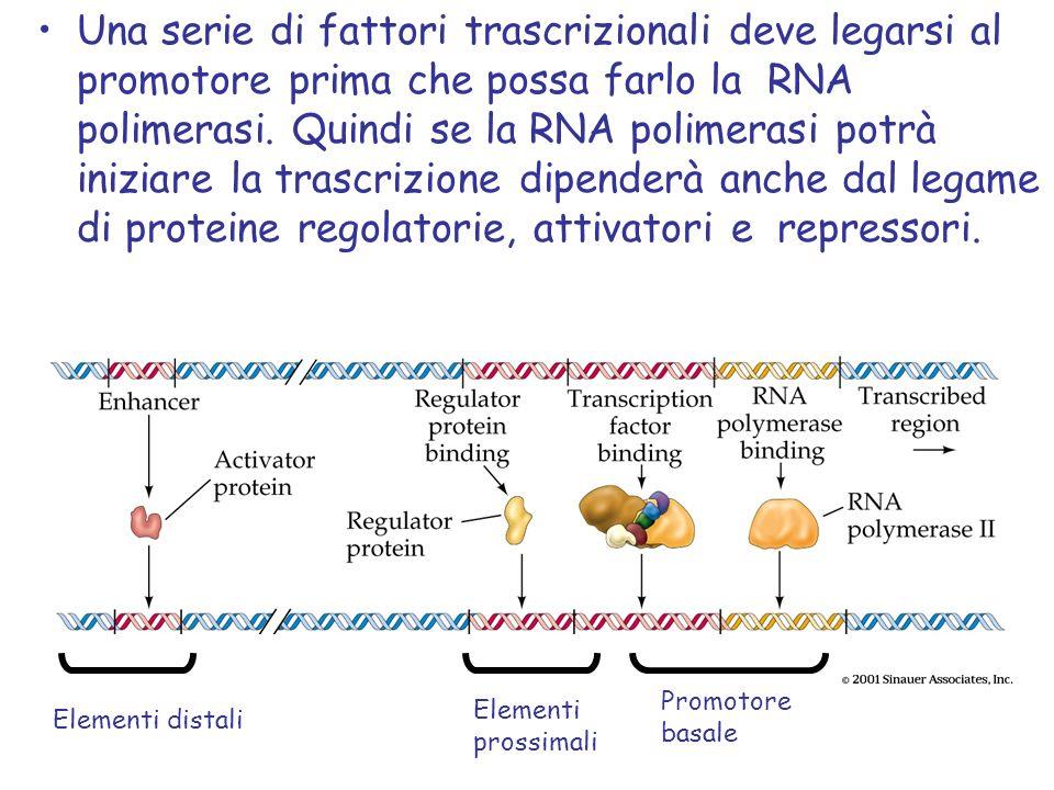 Una serie di fattori trascrizionali deve legarsi al promotore prima che possa farlo la RNA polimerasi. Quindi se la RNA polimerasi potrà iniziare la trascrizione dipenderà anche dal legame di proteine regolatorie, attivatori e repressori.