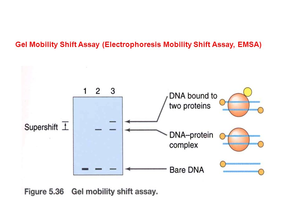 Gel Mobility Shift Assay (Electrophoresis Mobility Shift Assay, EMSA)