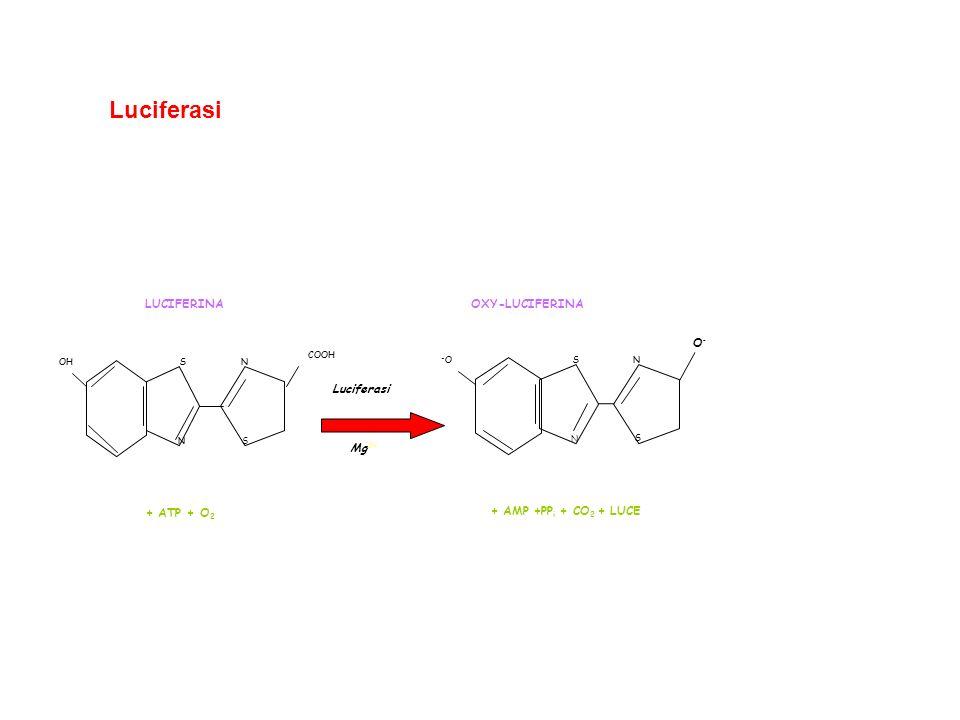 Luciferasi Mg2+ Luciferasi + ATP + O2 LUCIFERINA