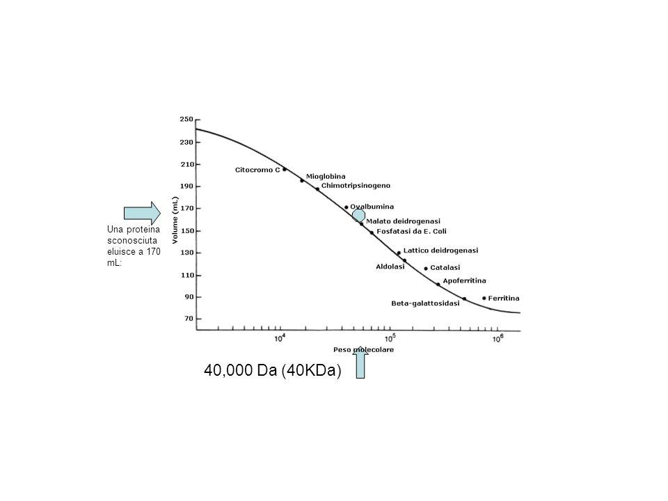 Una proteina sconosciuta eluisce a 170 mL: