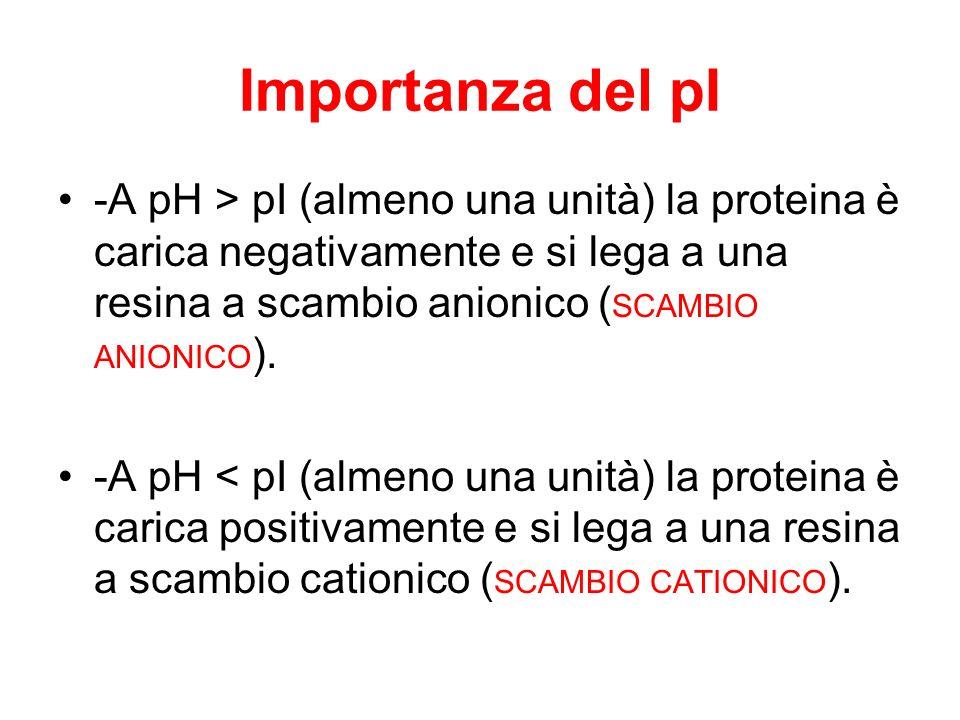 Importanza del pI -A pH > pI (almeno una unità) la proteina è carica negativamente e si lega a una resina a scambio anionico (SCAMBIO ANIONICO).