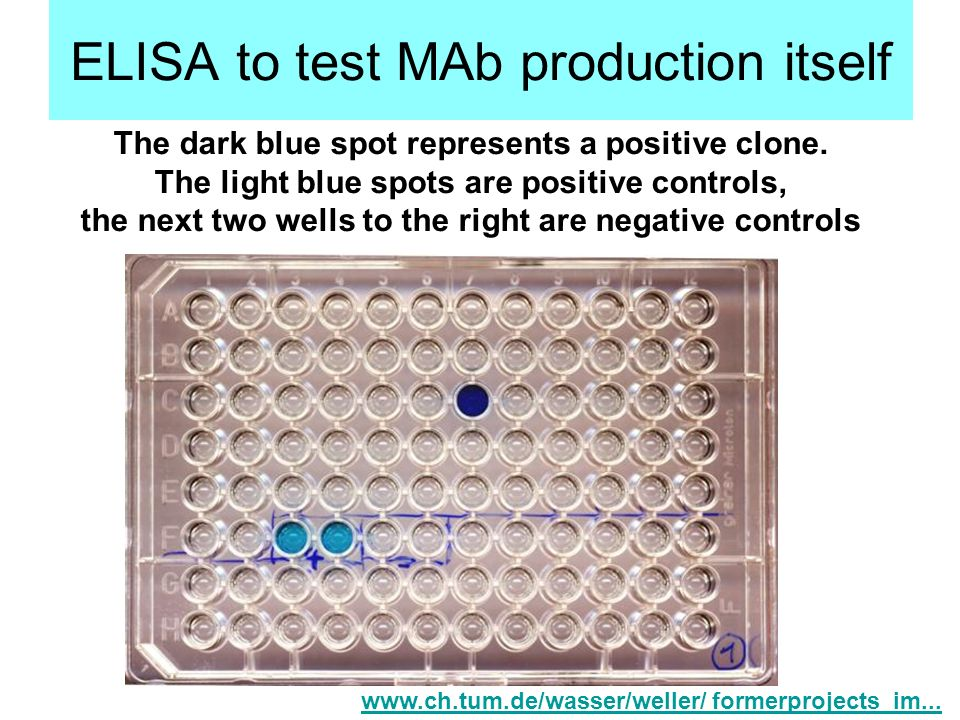 ELISA to test MAb production itself