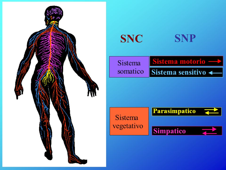 SNC SNP Sistema motorio Sistema somatico Sistema sensitivo Sistema