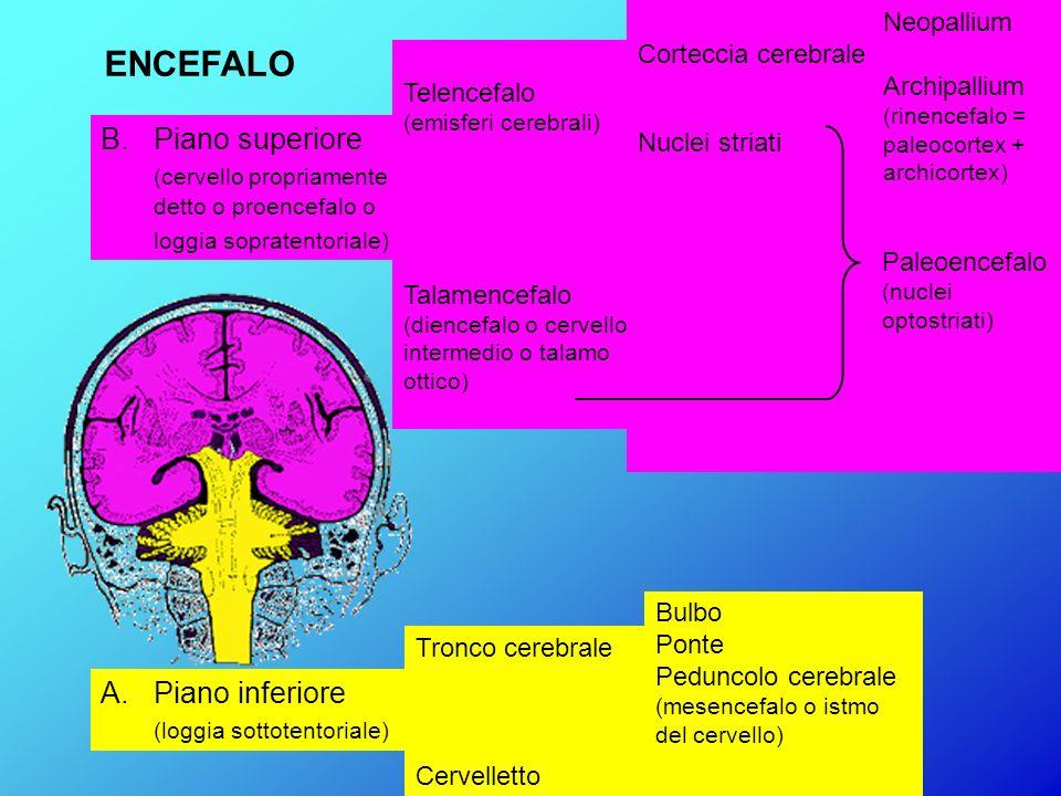 ENCEFALO B. Piano superiore