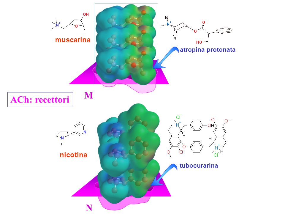 muscarina atropina protonata M ACh: recettori tubocurarina nicotina N