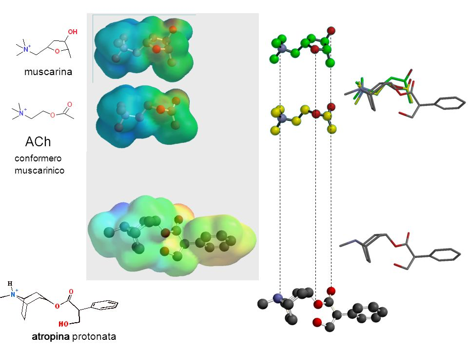 muscarina N + O conformero muscarinico ACh atropina protonata atropina
