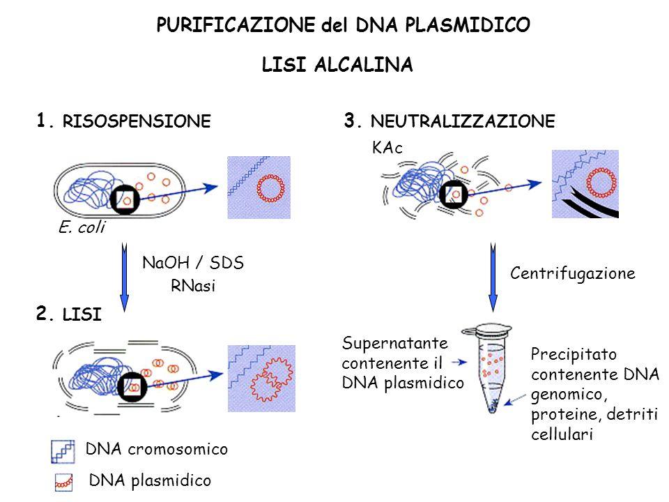 PURIFICAZIONE del DNA PLASMIDICO