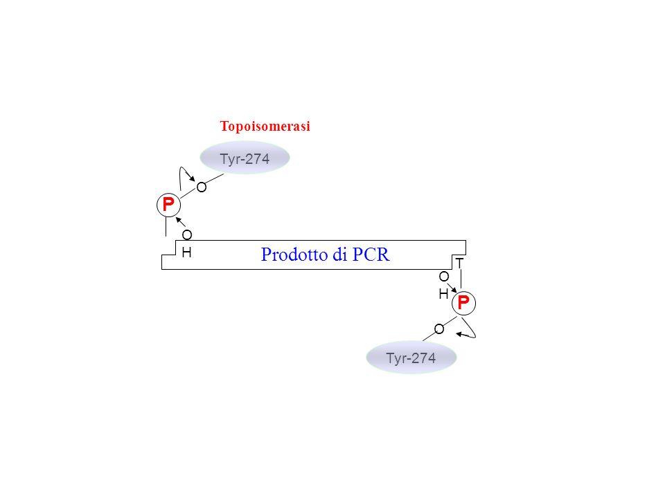 T Prodotto di PCR P OH O Tyr-274 Topoisomerasi