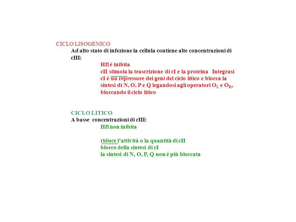 CICLO LISOGENICO Ad alto stato di infezione la cellula contiene alte concentrazioni di cIII: Hfl è inibita.