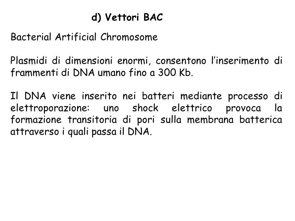 d) Vettori BAC Bacterial Artificial Chromosome. Plasmidi di dimensioni enormi, consentono l'inserimento di frammenti di DNA umano fino a 300 Kb.