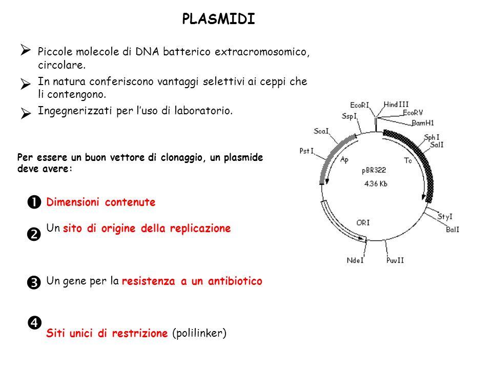 PLASMIDI Piccole molecole di DNA batterico extracromosomico, circolare. In natura conferiscono vantaggi selettivi ai ceppi che li contengono.