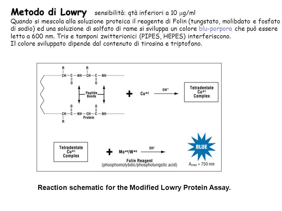 Metodo di Lowry sensibilità: qtà inferiori a 10 mg/ml