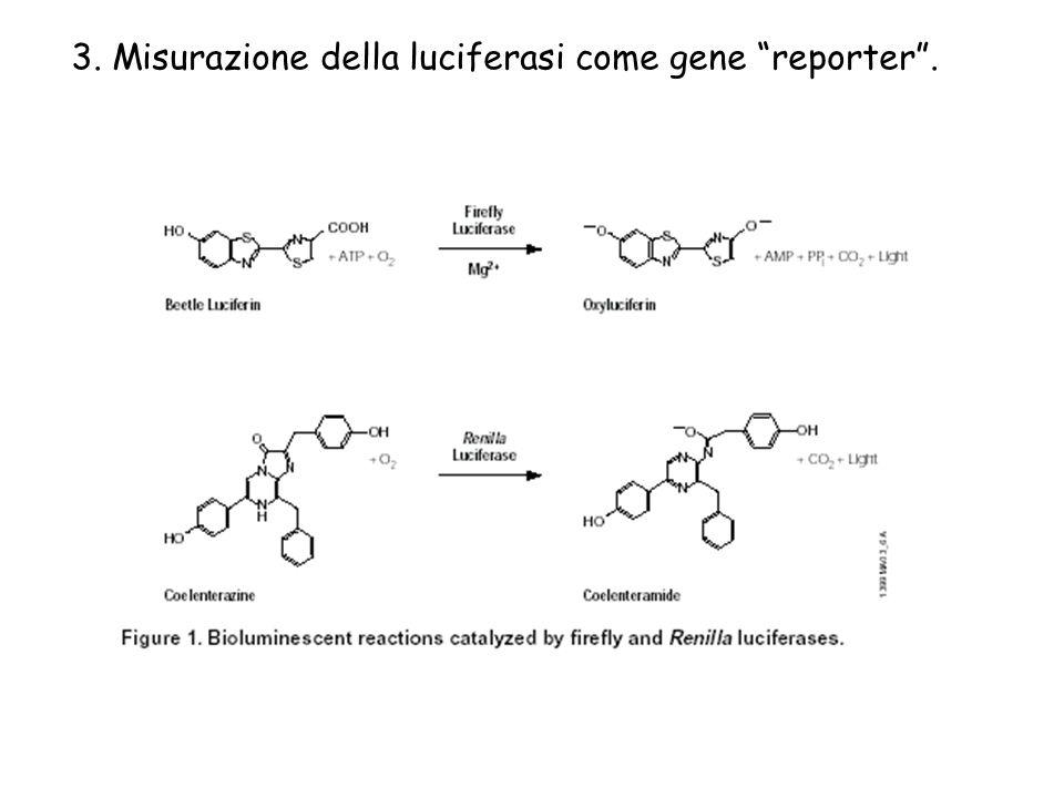 3. Misurazione della luciferasi come gene reporter .