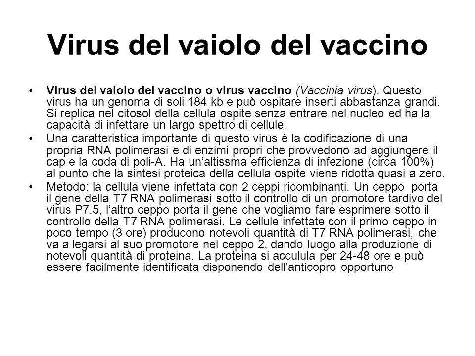 Virus del vaiolo del vaccino
