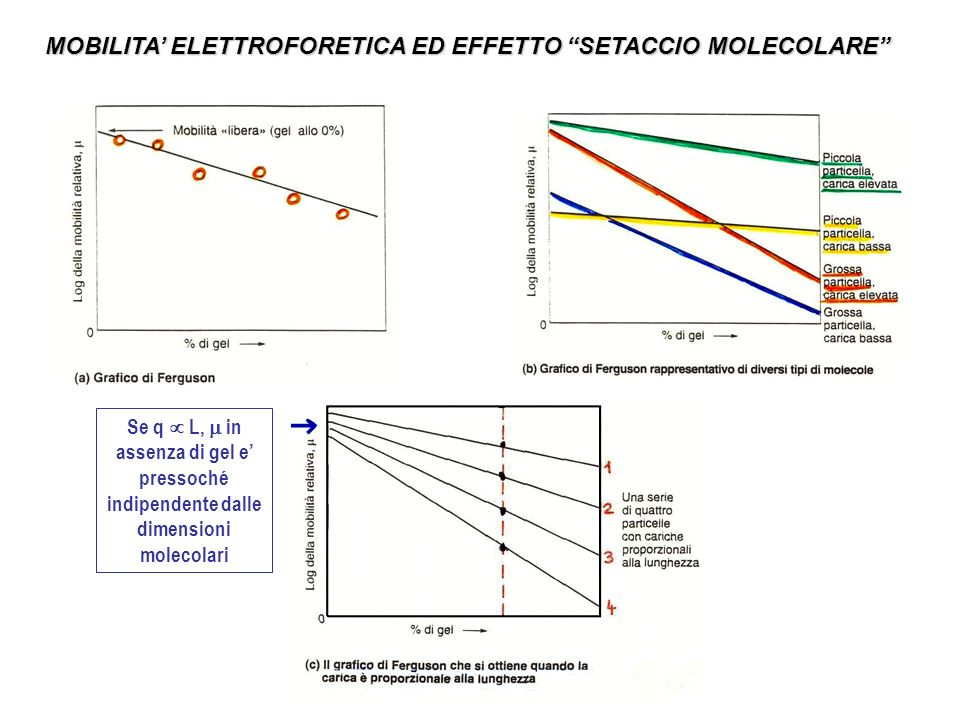 MOBILITA' ELETTROFORETICA ED EFFETTO SETACCIO MOLECOLARE