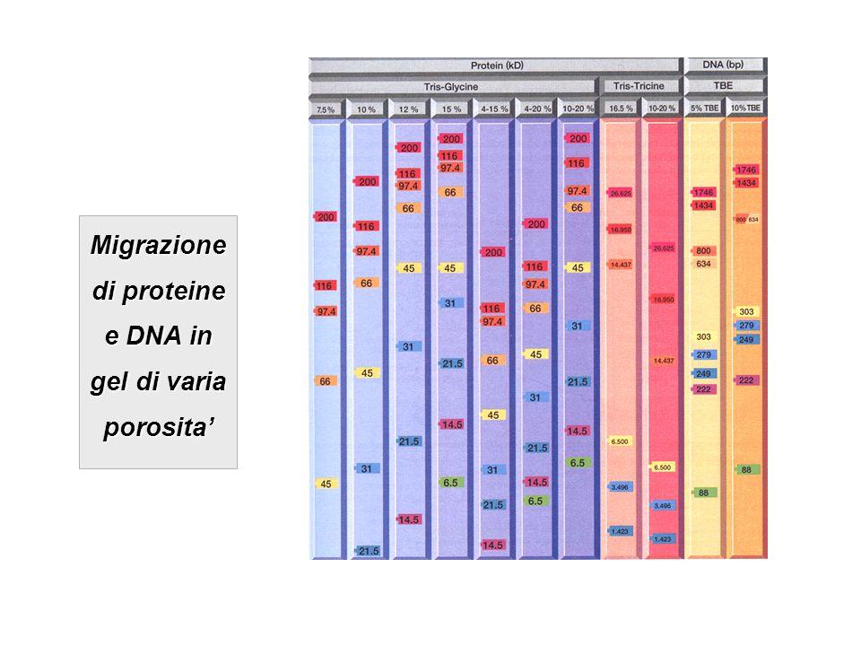 Migrazione di proteine e DNA in gel di varia porosita'