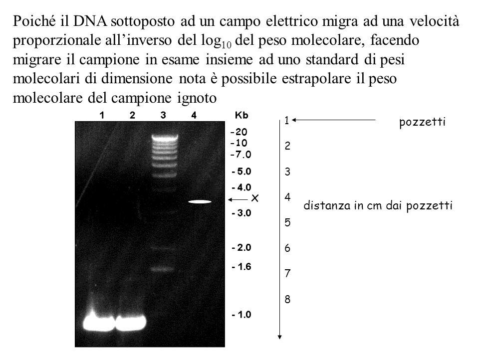 Poiché il DNA sottoposto ad un campo elettrico migra ad una velocità proporzionale all'inverso del log10 del peso molecolare, facendo migrare il campione in esame insieme ad uno standard di pesi molecolari di dimensione nota è possibile estrapolare il peso molecolare del campione ignoto