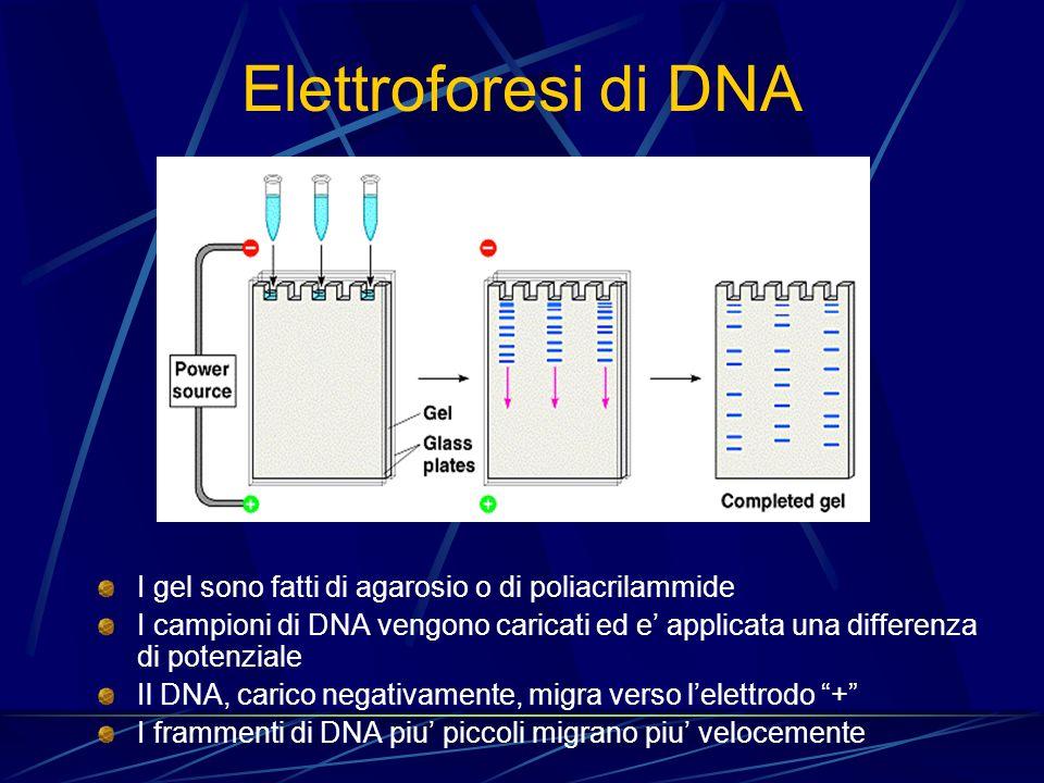 Elettroforesi di DNA I gel sono fatti di agarosio o di poliacrilammide