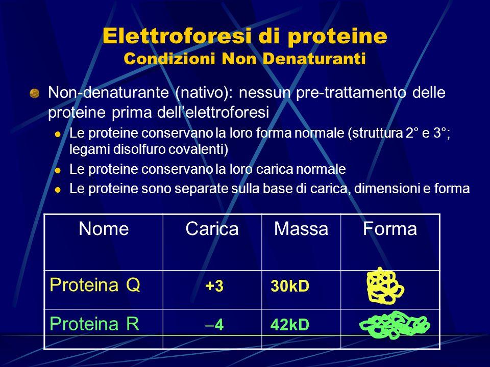 Elettroforesi di proteine Condizioni Non Denaturanti
