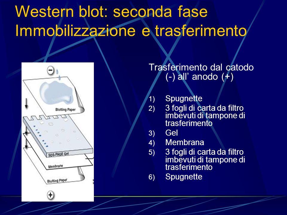 Western blot: seconda fase Immobilizzazione e trasferimento