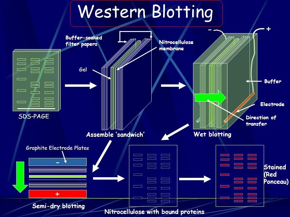 Western Blotting - + SDS-PAGE Assemble 'sandwich' Wet blotting