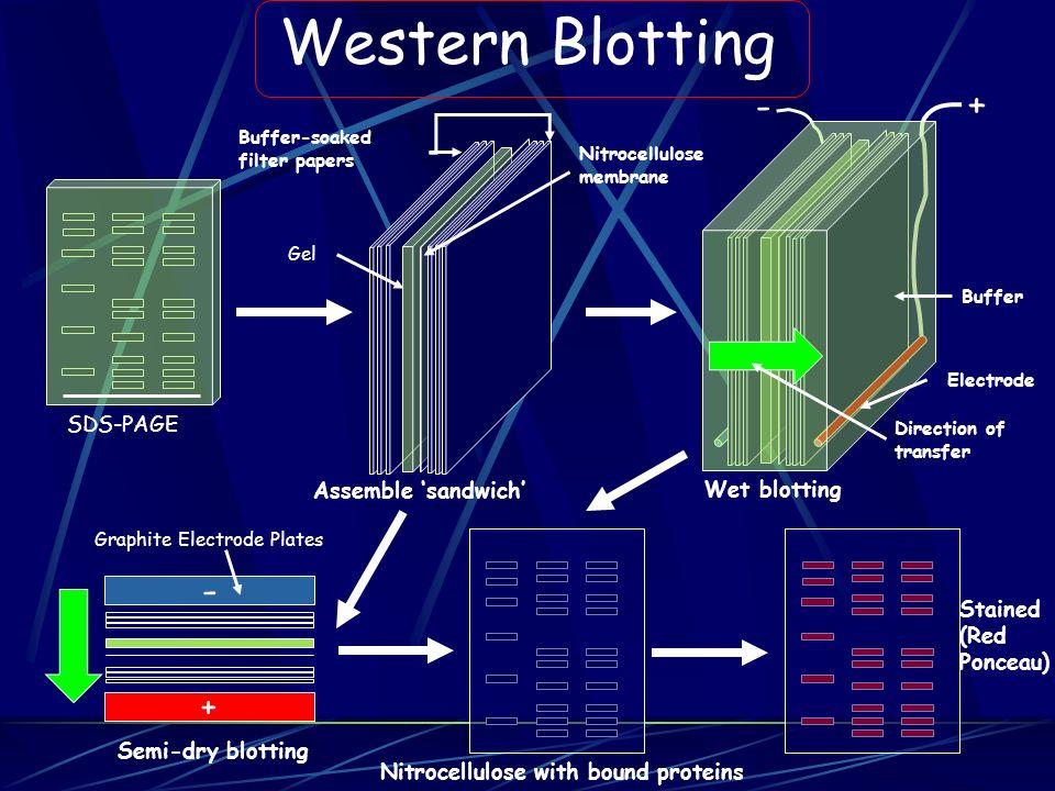 Western Blotting - + SDS-PAGE Assemble 'sandwich' Wet blotting