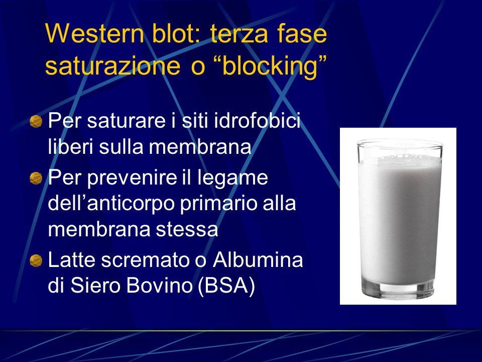 Western blot: terza fase saturazione o blocking