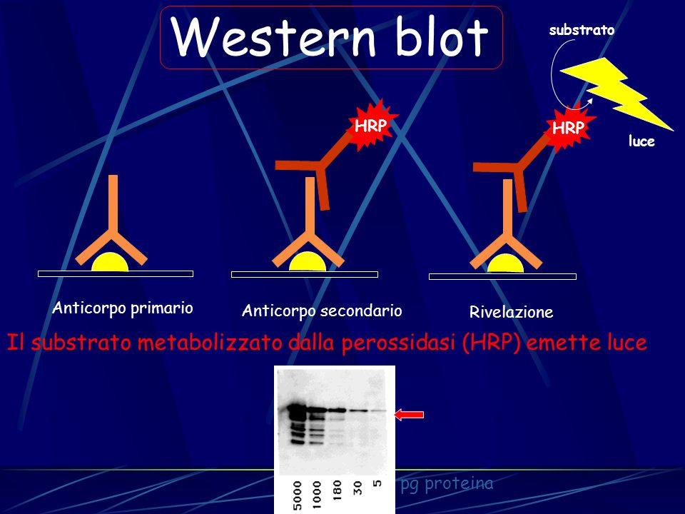 HRP Western blot. substrato. luce. Anticorpo primario. Anticorpo secondario. Rivelazione.