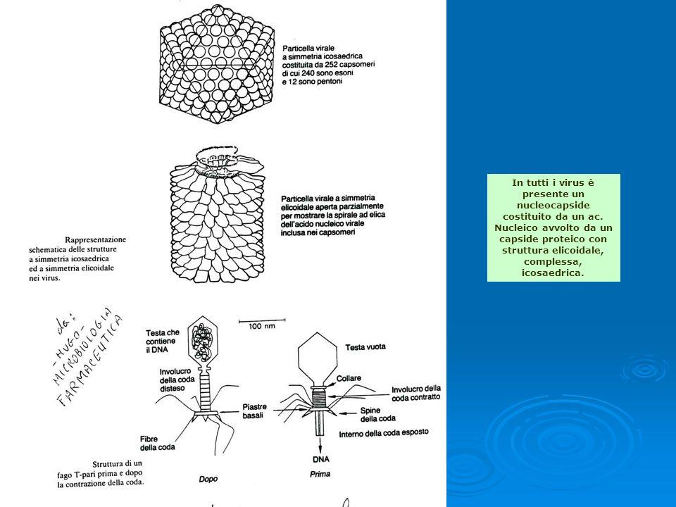In tutti i virus è presente un nucleocapside costituito da un ac