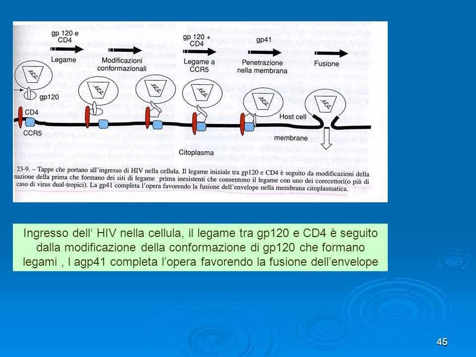 Ingresso dell' HIV nella cellula, il legame tra gp120 e CD4 è seguito dalla modificazione della conformazione di gp120 che formano legami , l agp41 completa l'opera favorendo la fusione dell'envelope