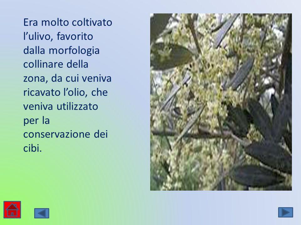Era molto coltivato l'ulivo, favorito dalla morfologia collinare della zona, da cui veniva ricavato l'olio, che veniva utilizzato per la conservazione dei cibi.